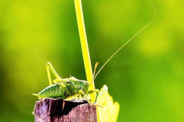 緑の背景をぼかした写真のバッタ