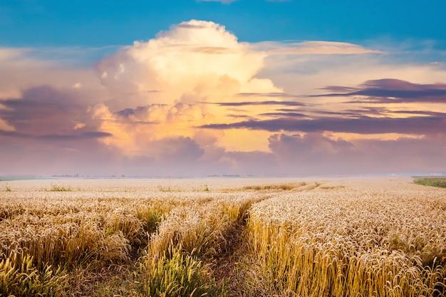 道は麦畑の中にあります。日没時に麦畑の風光明媚な雲。夏の風景