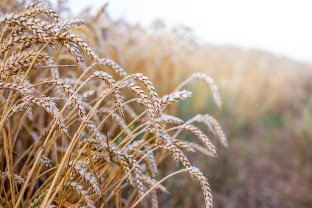 熟成期の道路端にある小麦の穂