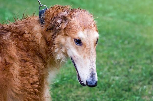雨の日の散歩、肖像画のクローズアップのグレイハウンド犬