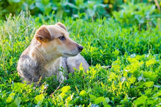 Коричневая маленькая собака лежит в траве во дворе в ясный солнечный день
