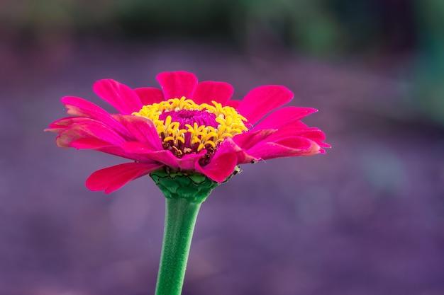 紫色の背景をぼかした写真に赤い花ジニア