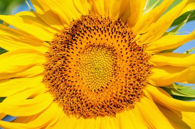 明るく晴れた日のクローズアップでひまわりの花