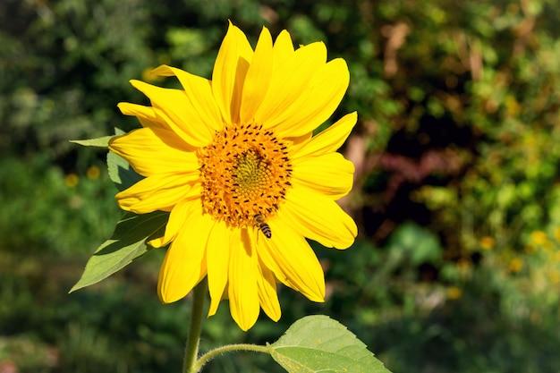 Большой желтый цветок подсолнечника в ясный осенний день