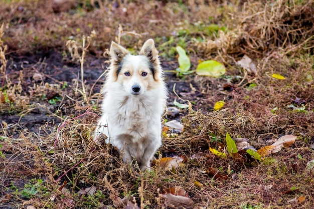 Белая собака сидит среди сухой травы в осенний день и защищает ферму