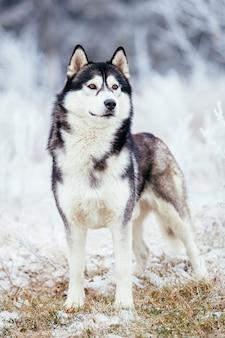 ハスキーの黒と白の色は冷たい凍るような地面に冬のフィールドに立っています。
