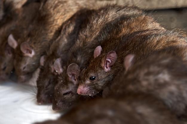 Красные крысы пьют молоко.