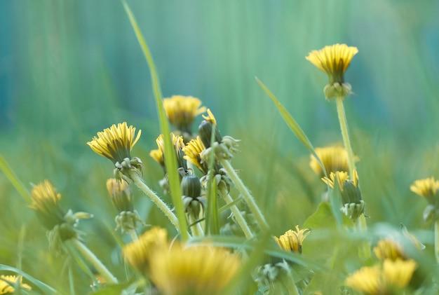春の牧草地のタンポポ。