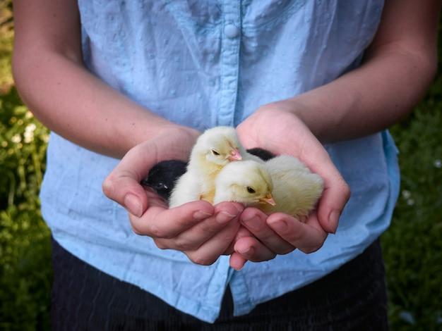 手の中の小さな鶏。