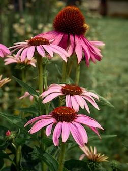 Растительное растение эхинацея пурпурная.