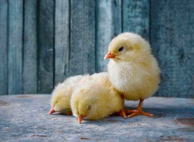 かわいい新生児チキン。