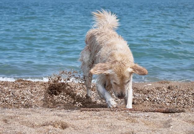 Белый ретривер собака на пляже