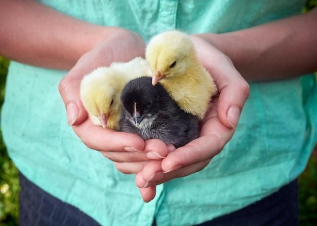 手の中の鶏。