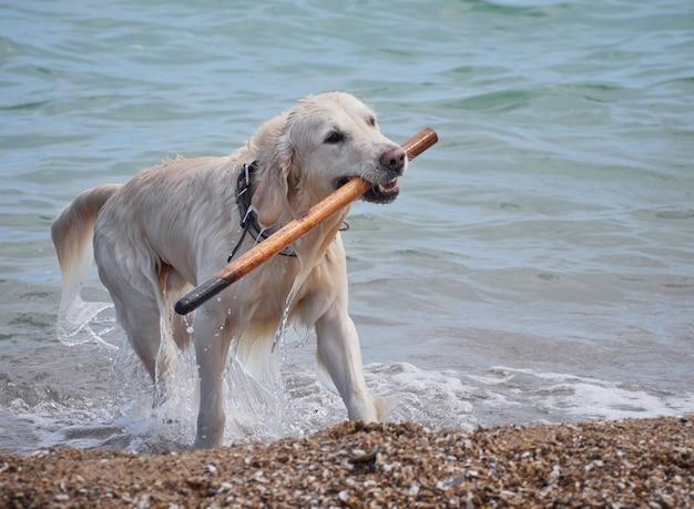 Белый золотистый лабрадор ретривер собака на пляже