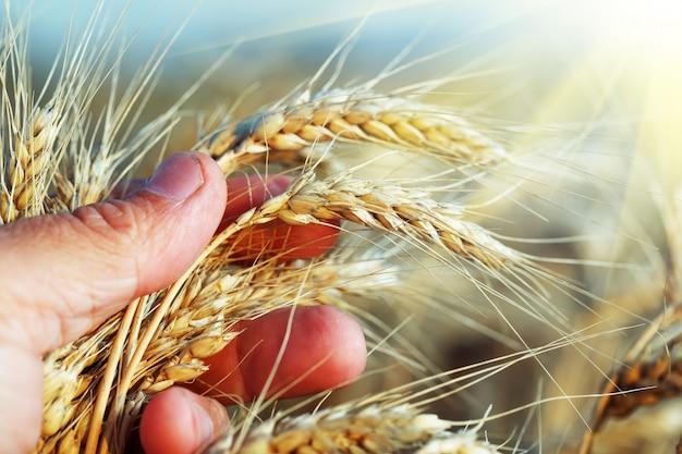 青空を背景に農家の手のひらでライ麦