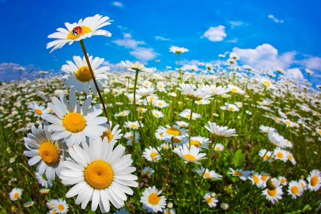 夏の畑のカモミールの花