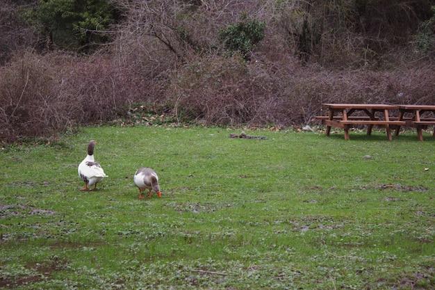 湖の草の上を循環するアヒルからなる自然の景色