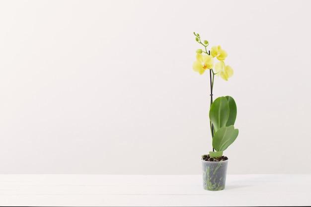 白いモダンなインテリアの植木鉢に黄色の蘭