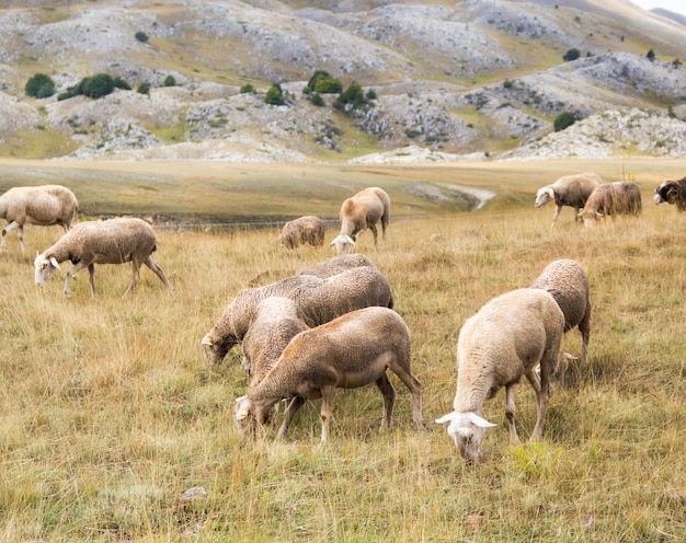 Стадо овец на пастбище в абруццо, италия