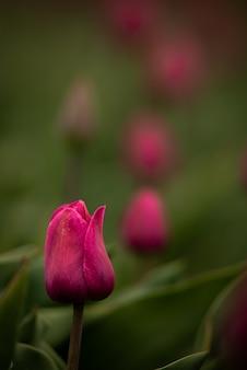 拡散の自然な背景を持つ紫色のチューリップの花