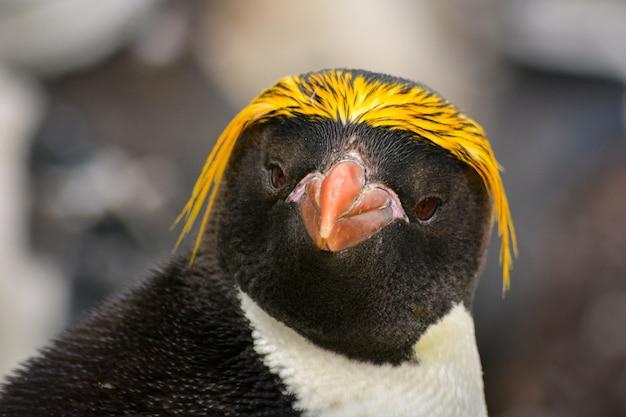 南極のマカロニペンギンの肖像画