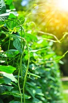 オーガニックヤードの長い豆の木、庭のヤングサニーピー植物