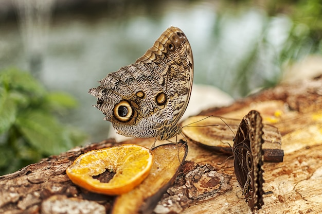 Крупный план бабочки конского каштана, едят фрукты