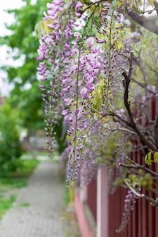 Крупный план глицинии цветы висят на заборе на улице