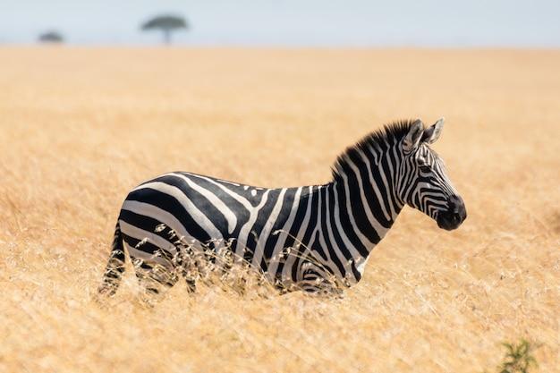 Зебра в африканской саванне, в масаи мара, кения