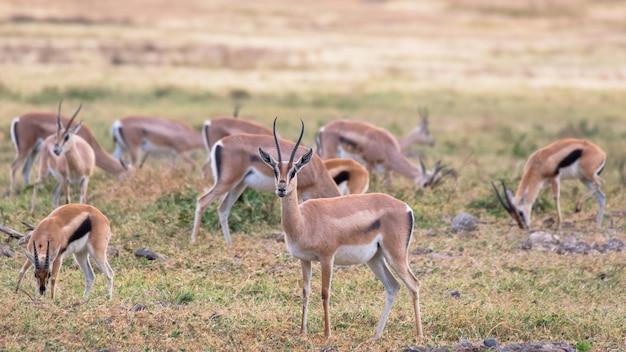 Газель в африканской саванне, в нгоронгоро, танзания