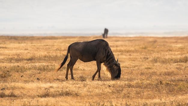 Гну в африканской саванне, в нгоронгоро, танзания