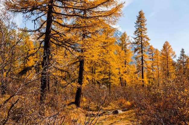 黄金のカラマツと山の秋の風景。カナダ。