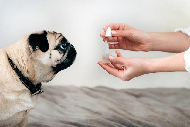Милое усаживание мопса, смотрящ руку женщины держа ушные капли. лечение собаки. забота о вашем любимом питомце.