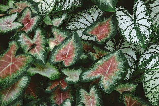 赤と緑のニシキイモ植物のクローズアップ