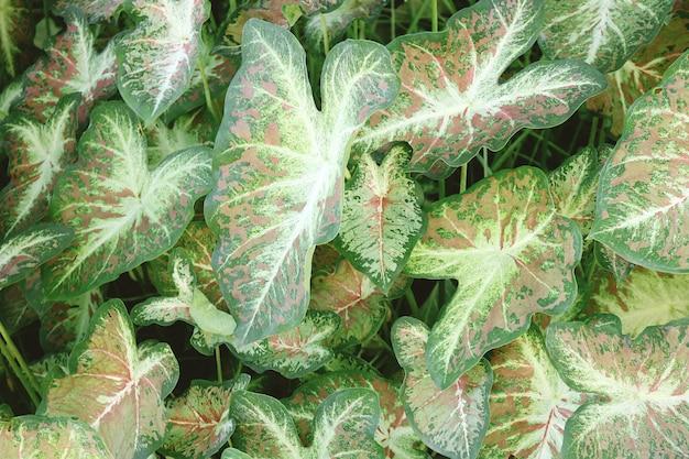 グリーンニシキイモ植物のクローズアップ