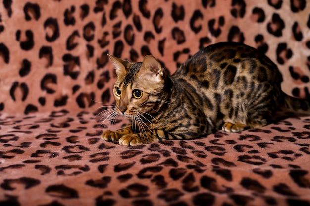 大きな目の美しいベンガル猫