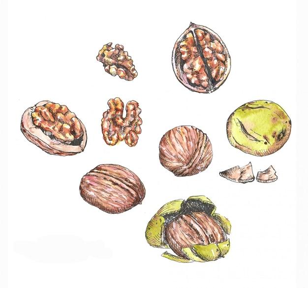 Акварель и чернила иллюстрации различных орехов. ручной обращается различные грецкие орехи на белом фоне