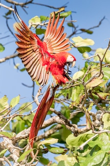 Красная ара посадка на ветке