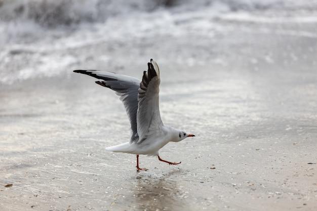 飛行中のビーチでのカモメ