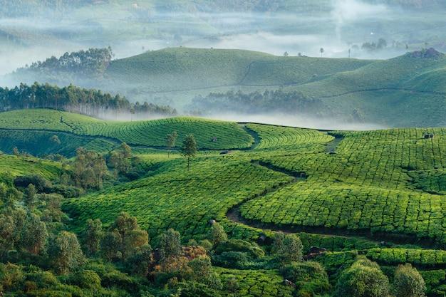 Зеленые холмы чайных плантаций в муннаре