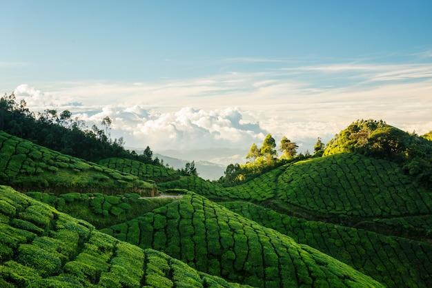 Зеленые холмы чайных плантаций колуккумалай в муннаре