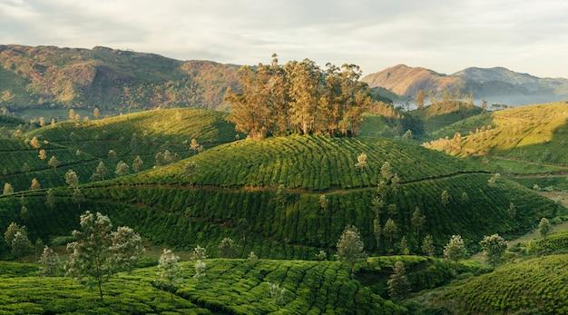 Зеленые долины горных чайных плантаций в муннаре