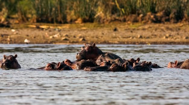 Найваша бегемоты. альфа самец и семья. кения, африка