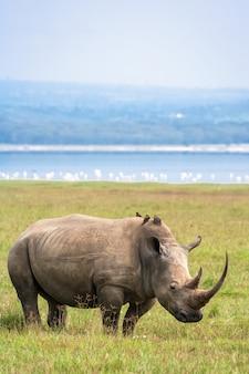 Белый носорог на озере накуру. кения. африка