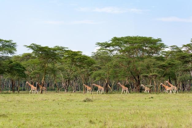 Очень большая группа жирафов