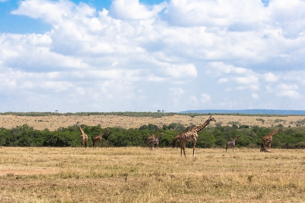 Стадо масаев-жирафов в саванне