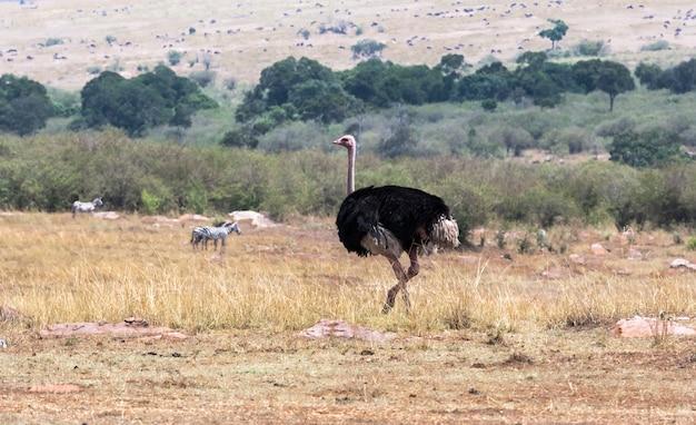Африканский страус в саванне