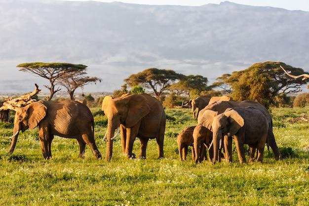 Небольшое стадо слонов в амбосели, кения