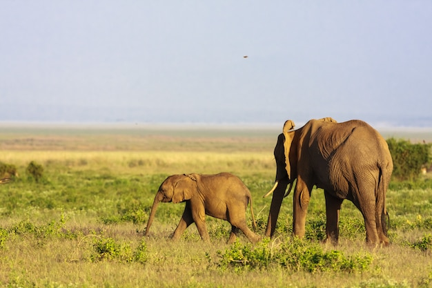 赤ちゃんと象。ケニアのアンボセリのサバンナ
