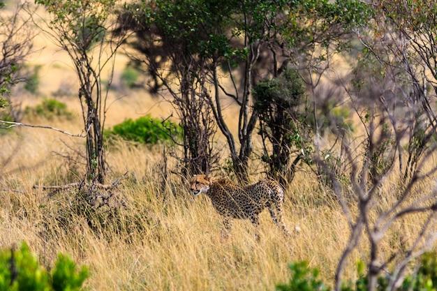 Гепард уходит. масаи мара, кения